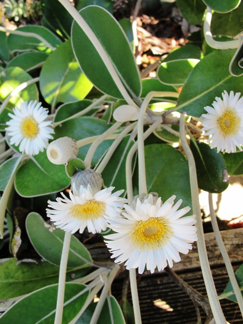 Pachystegia insignis - one of our loveliest native plants