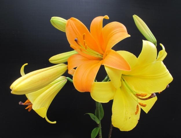 The lovely Aurelian lily hybrids