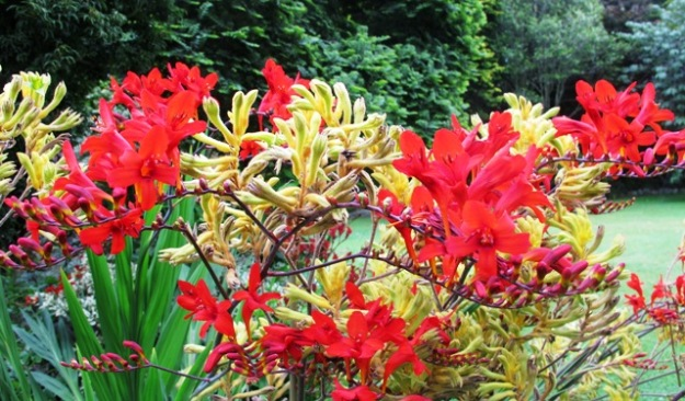 Red Crocosmia 'Lucifer' with yellow anigozanthus