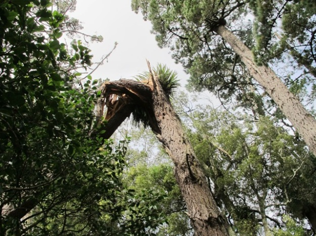 The latest pine to fall, failed to snap off cleanly, maybe 6 metres up.