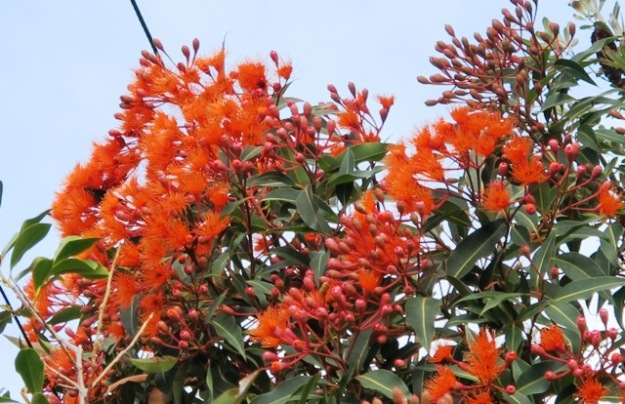 Techically Corymbia ficifolia but more commonly known as the flowering gum