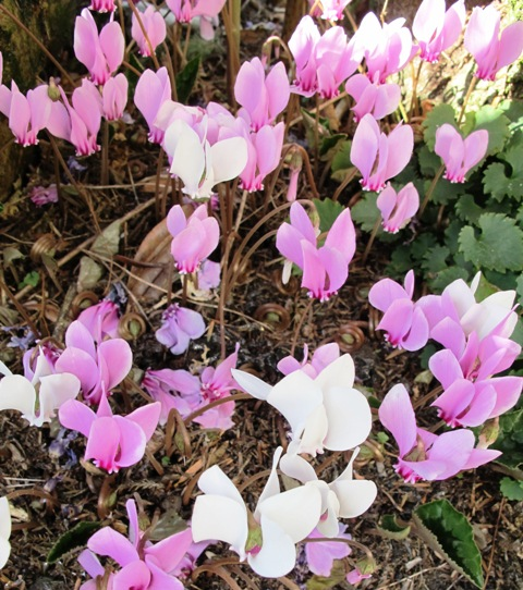 Cyclamen hederfolium give pretty flowers from summer through autumn and carpet of attractive foliage until mid spring