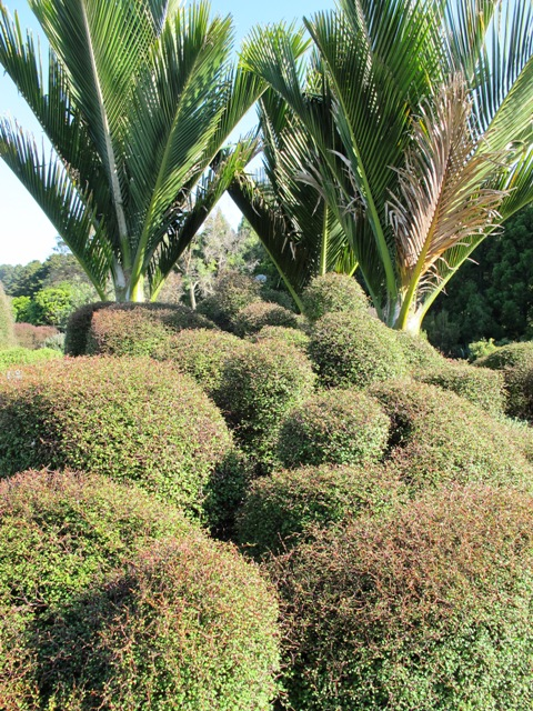 Clipped Muehlenbeckia astonii and nikau palms show native plants are not boring at all