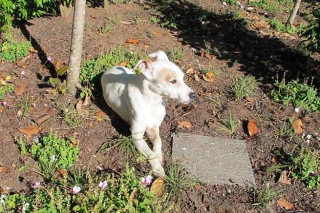 How ironic that I still went searching for a photograph to show the garden bed looking good - but had to settle for Spike the dog creating a dust bath in the reworked ground covers. This is a long way from the mental image I have of what it is to look like.