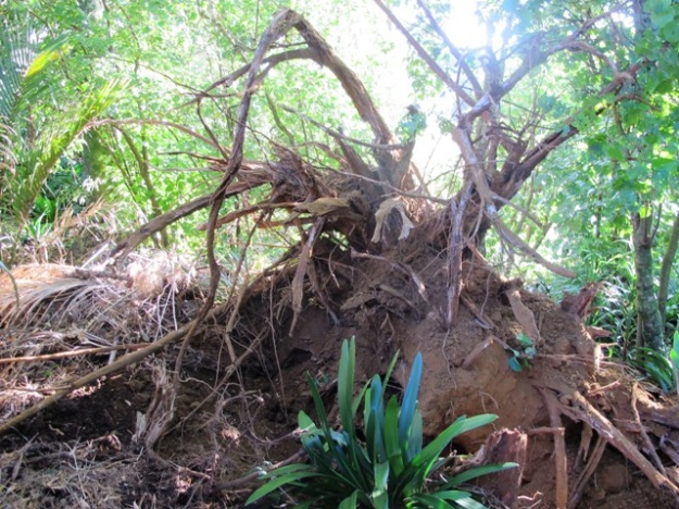 At least when the gum tree fell over, it ripped its roots out. A brave clump of clivias is unscathed.