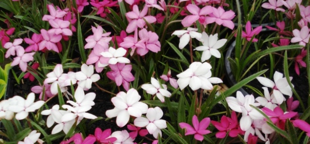 Rhodohypoxis are to be in drifts, not clumps, thank you.