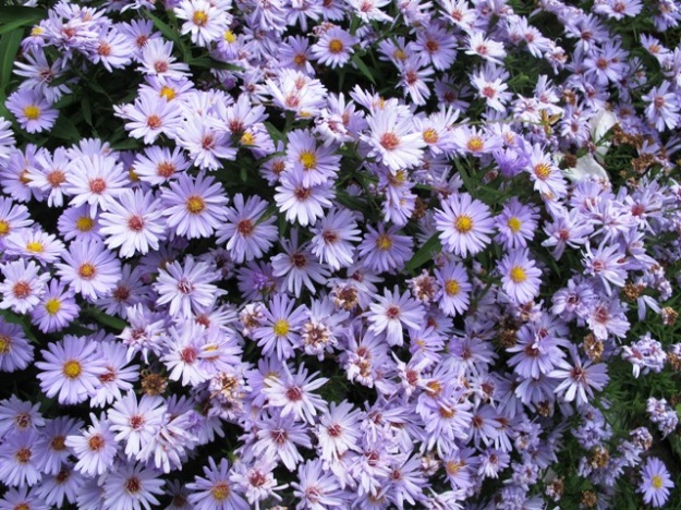 This aster is a lovely colour but it needs lifting and dividing every year or two