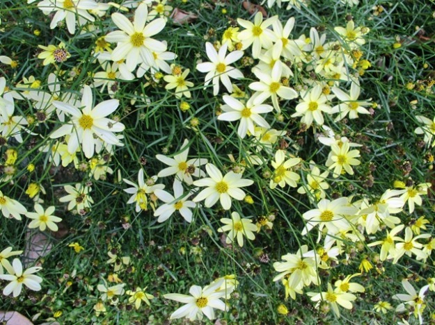 Coreopsis 'Moonbeam' flowers for a long time through summer without needing deadheading