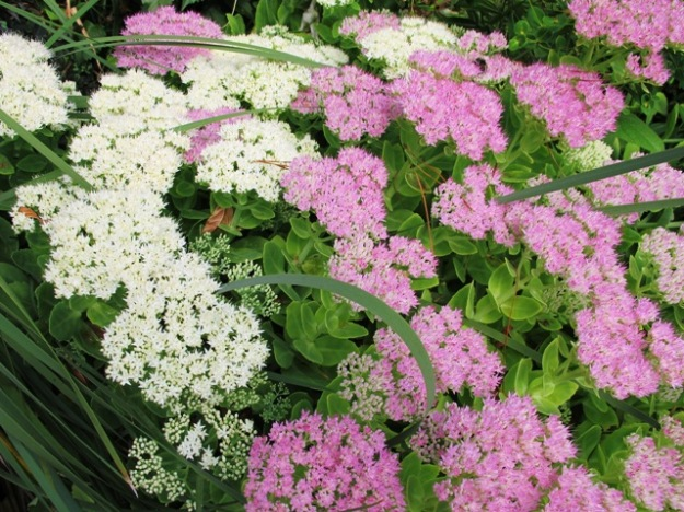 Sedums - good bee and butterfly food