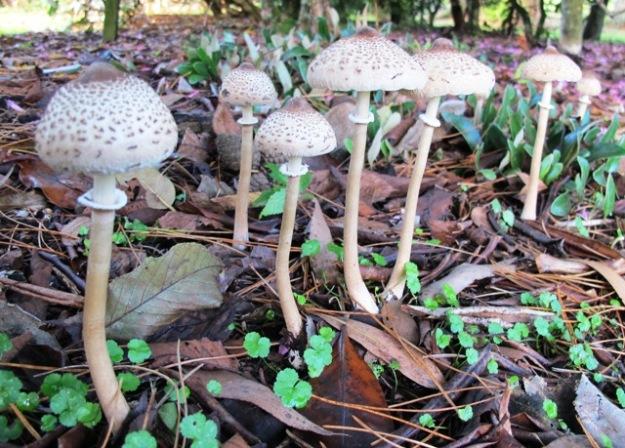 A parasol mushroom, though not, I think, the popular edible shaggy parasol