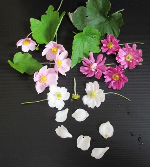 Japanese anemones are commonly found in pinks and white although selections are being made to extend the colour range into lilac blues