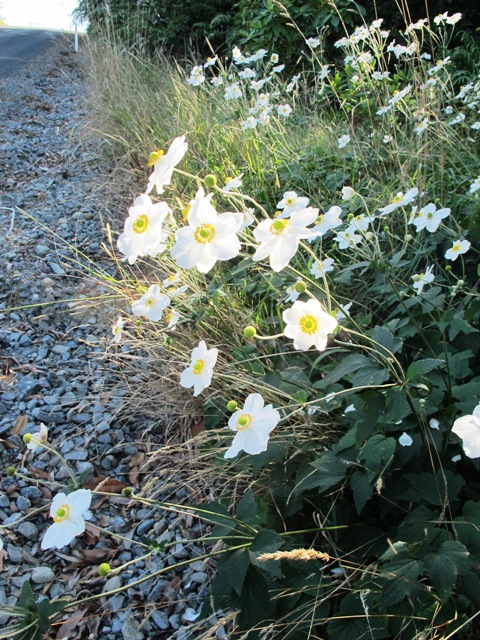 The white Japanese anemone down the road looks better than the patch we have in our garden