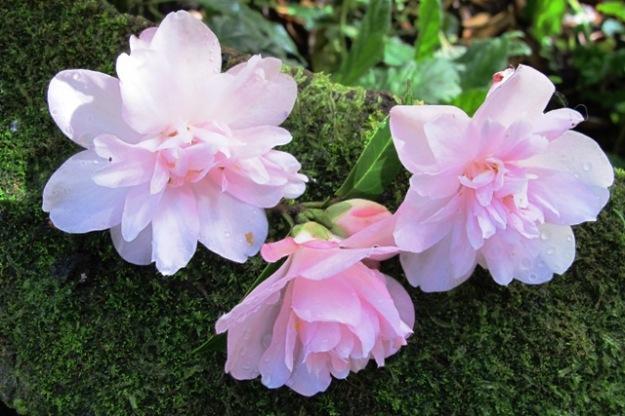 Camellia Itty Bit (Felix Jury)