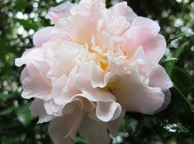 Camellia Jury's Pearl (Mark Jury)