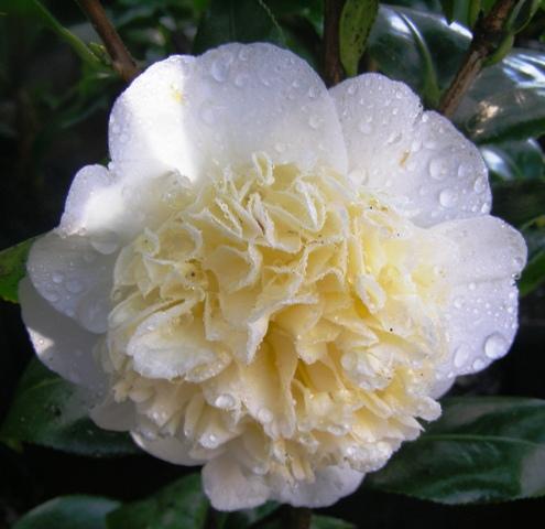 Camellia Jury's Yellow (Les Jury)