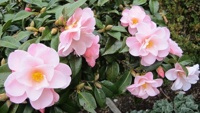 Camellia Pearly Cascade (Mark Jury)