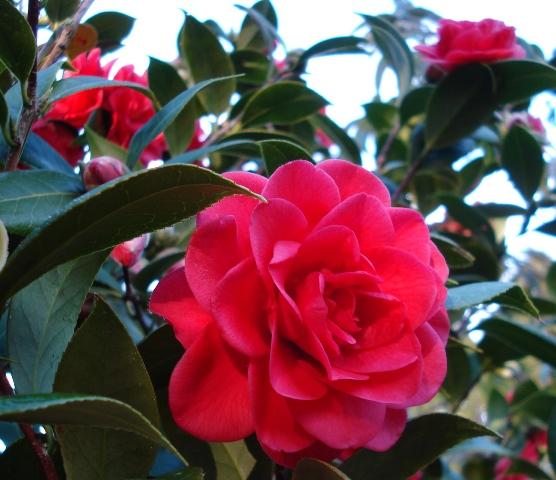 Camellia Roma Red (Mark Jury)