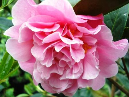 Camellia Rose Bouquet (Felix Jury)