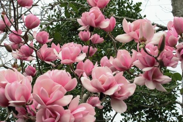 Magnolia Sweetheart (AGM)