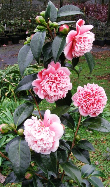 Camellia Volunteer (Mark Jury)