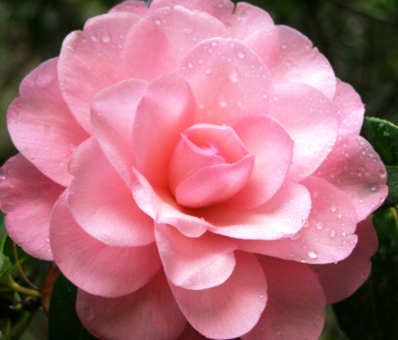 Camellia Water Lily (Felix Jury)