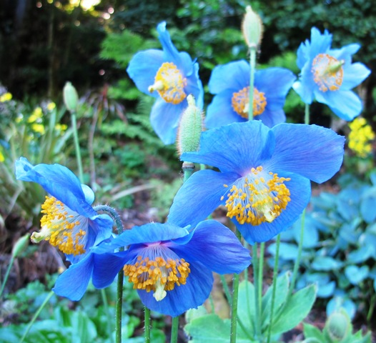 Meconopsis or Himalayan blue poppy