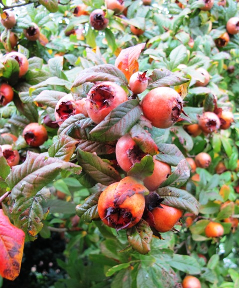 The medlar - probably better as an ornamental than for its harvest