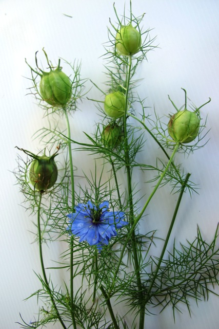 Nigella damascens