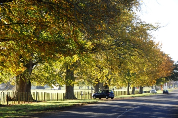 What would Cambridge be like without its street trees like these on Taylor Street (Photo: Michael Jeans)