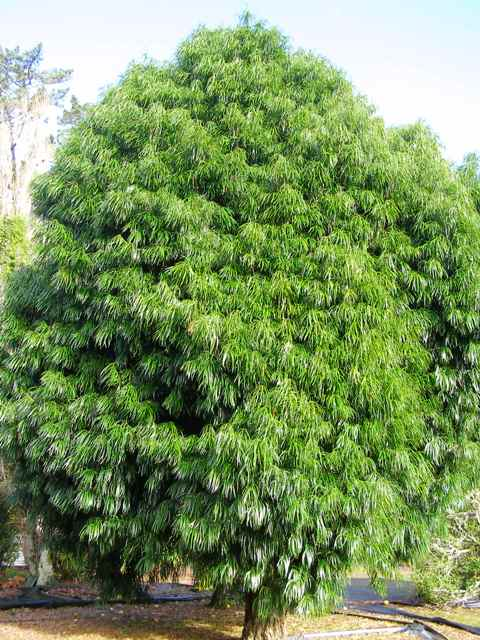 Alas, the Podocarpus henkelii I saw have no chance of ever reaching this stature