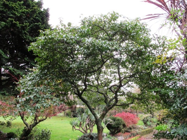 A mature Camellia Tiny Star makes an almost perfect small tree but it takes many years to get there