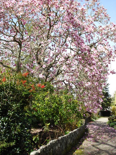 Magnolia Iolanthe is not going to stop growing when it has reached 2 or 3 metres