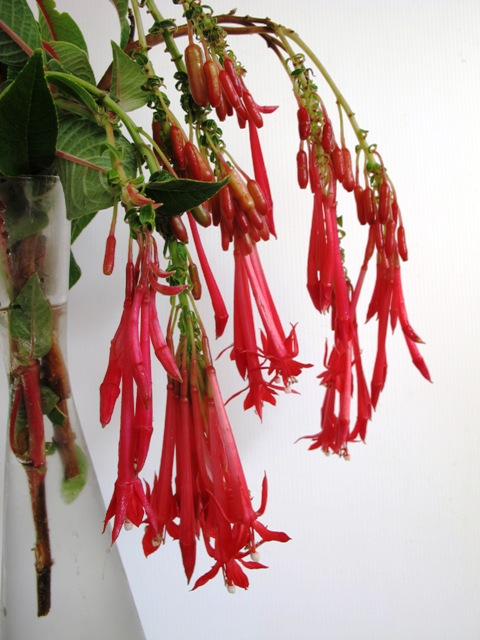 Rewarding but a weed here - Fuchsia boliviana