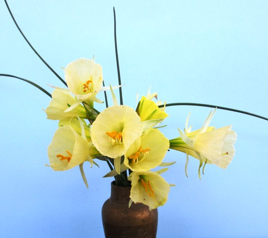Narcissus bulbocodium var. citrinus 'Pandora'