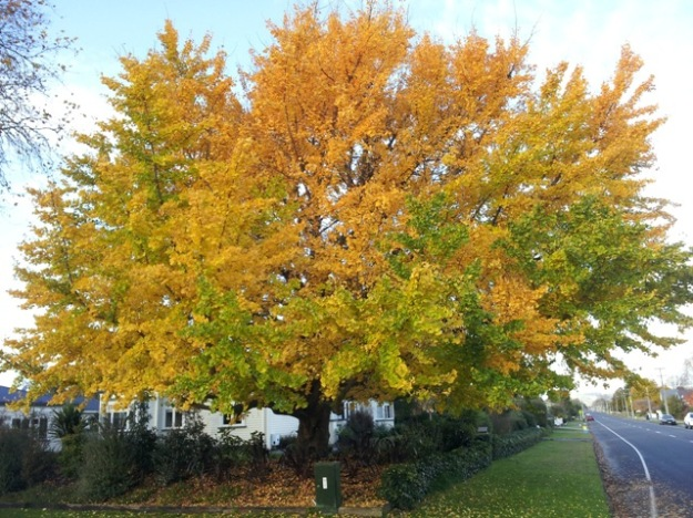 This ginkgo tree on the corner of Hall and Williams Streets in Cambridge gives lie to the 2.5 metre claim, though it is over 10 years of age. (Photo: Michael Jeans)