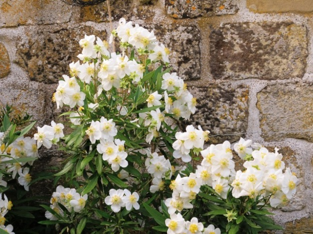 Carpenteria californica - but in Yorkshire, not Tikorangi