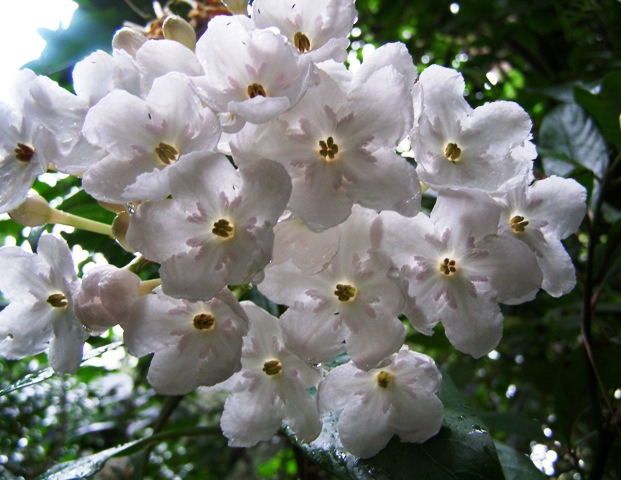 Luculia Fragrant Pearl