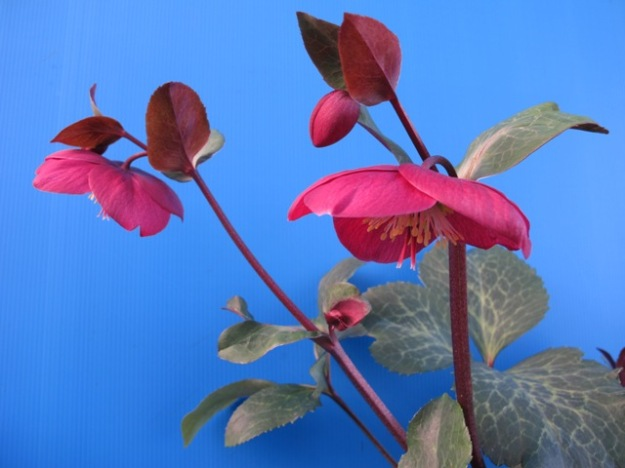 We are very impressed by Hellebore 'Anna's Red'