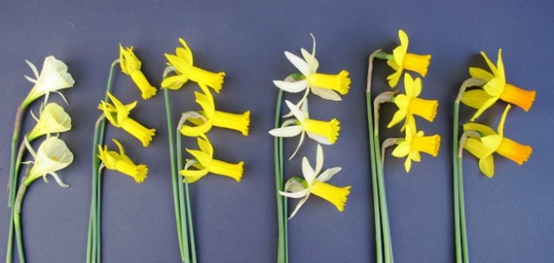 Left to right: All dwarf varieties. N. bulbodium citrinus (the bright yellow form flowers later in the season), N. cyclamineus (or close to that species with its fine form and swept back skirt), 'Twinkle' showing its cyclamineus genes. Fourth along is 'Twilight' which we regard as an exceptional performer with a long flowering season, comparable to the world renowned 'Tete a Tete' to its right. Finally are the first two flowers to open on what we think is 'Jetfire'.