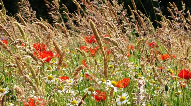 Still in its first season, this sown meadow features daisies, corn poppies and the naturally occurring Yorkshire fog