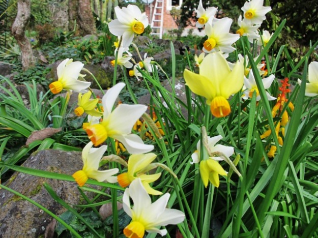 Narcissus 'Beryl' has yet to open her flowers this season but is another reliable performer amongst the dwarf narcissi.