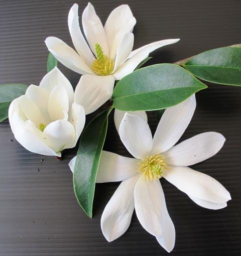 Mark's new 'Fairy Magnolia White'