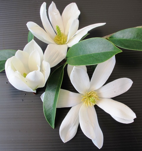 Mark's new 'Fairy Magnolia White'