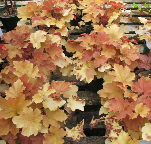 Great nursery plants - the autumn-toned heucheras look so interesting in the garden centre but I have yet to see them perform as garden plants