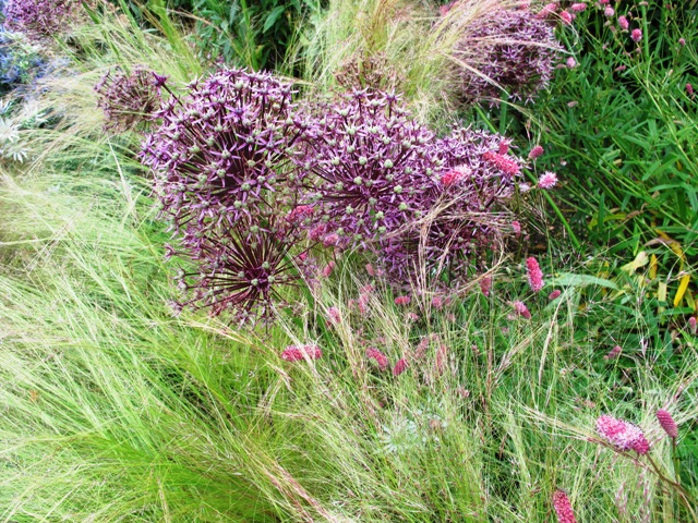 The shimmering Stipa tenuissima, seen here with alliums, but not a good choice for New Zealand where it has already been determined an invasive variety