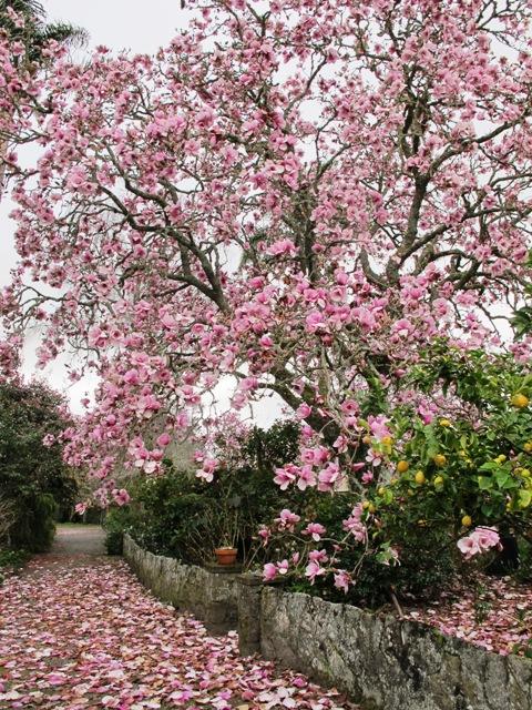 The inimitable Magnolia Iolanthe
