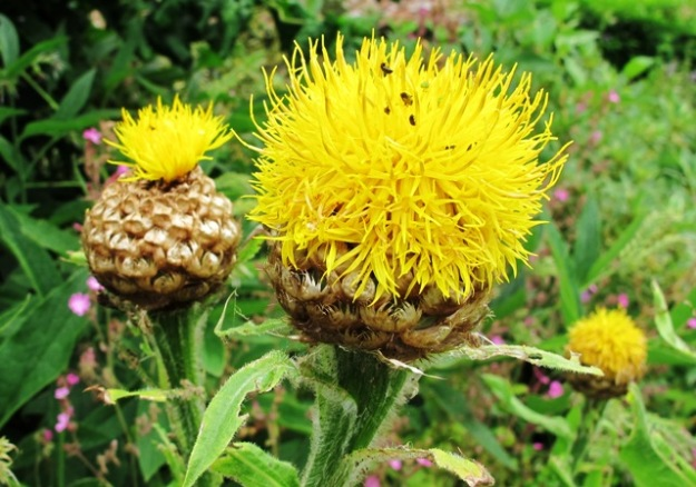 A yellow thistle relative – likely one of the centaurea family.