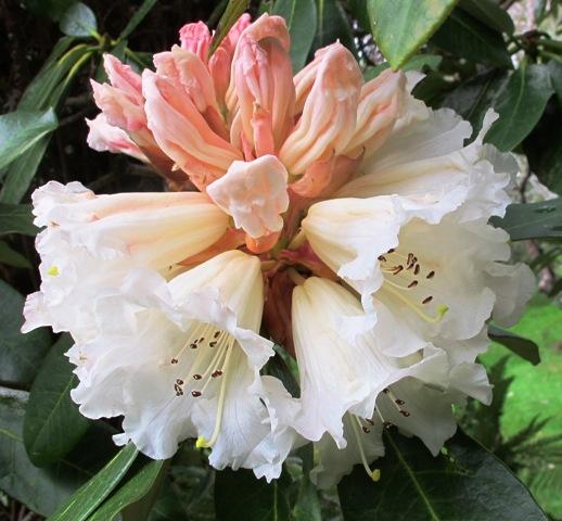 Rhododendron 'Eyestopper'
