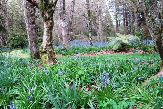 Bluebells beneath deciduous trees at Te Popo
