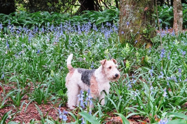 Flynn the dog did not show a great deal of respect for the Te Popo bluebells, alas
